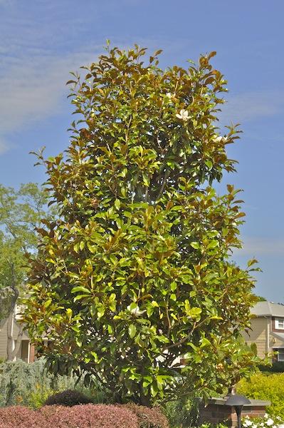 Specimen Trees Basics Landscpaing Co Inc