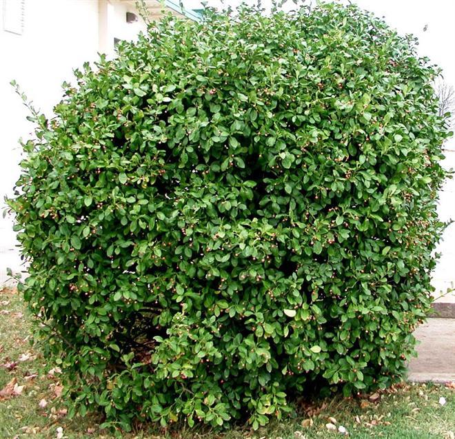 Arbustos con Propósito / Centros de Jardinería Armstrong